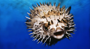 This Is How You Prepare the Poisonous Puffer Fish For a Meal (VIDEO)